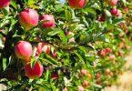 Jardin : Comment entretenir un arbre fruitier?
