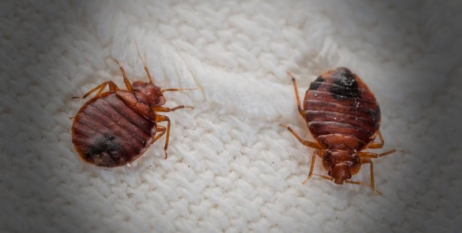 éliminer et se débarrasser des punaises de lit